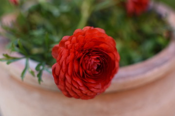 Obraz czerwony zawilec - fototapety do salonu