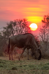 A common wildebeest (Connochaetes taurinus) grazing under a setting sun. South Africa