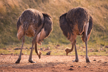 Two ostriches feeding, pictured from behind, South Africa