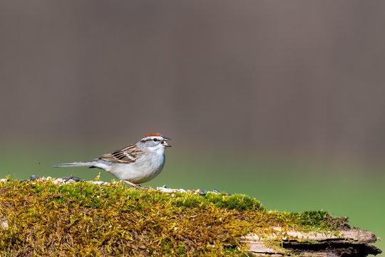Sparrow bird on a mossy log in spring