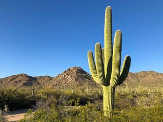 Wall Murals Cactus A large saguaro cactus dominates this arid Sonoran desert landscape