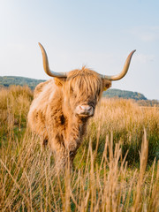 Acrylic Prints Highland Cow Low shot of Scottish highland cow laying down and eating. An highland cow with a very long tuft of reddish hair watch straight in the camera near a gravel road