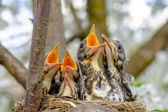 Group of thrush bird baby sitting in their nest with mouths wide open waiting for feeding. Baby bird in nest concept.