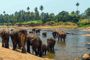 Elephants family Asia water of jungle
