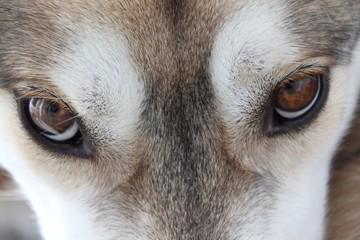Siberian Husky - Axel