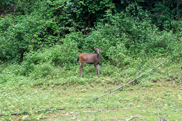 Deer is eating grass in the forest. khlong saeng wildlife sanctuary. Thailand.