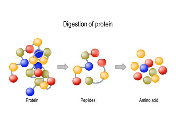 Digestion of Protein. Enzymes (proteases and peptidases), peptides and amino acids