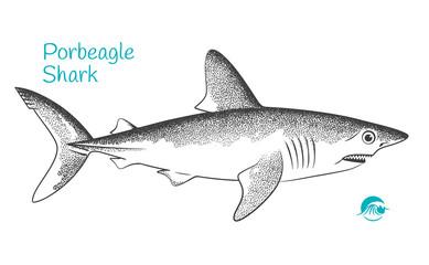 Porbeagle hand-drawn illustration
