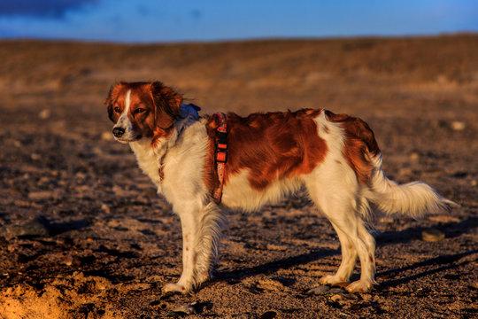 Sunset Kooiker Dog