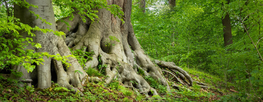 old tree roots in a green forest