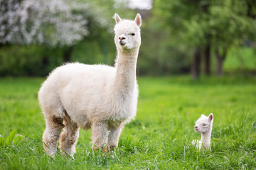 White Alpaca with offspring, South American mammal Fototapete