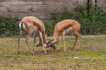 Türaufkleber Antilope antilope