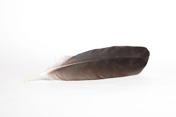 Bird feather, isolated on white