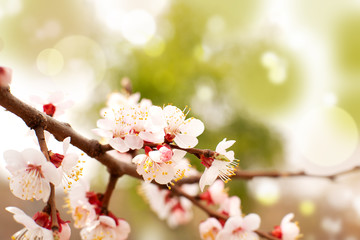Spring branch of apricot tree. Apricot flowers in the sun glare. Delicate beautiful flowers and background for design. Spring flowering branch.