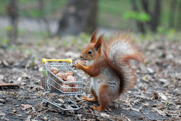 Poster de jardin Squirrel Red squirrel with shopping cart