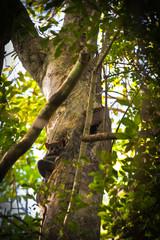 Foto auf AluDibond Straus Lemur
