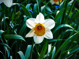 Photo on textile frame Narcissus Beautiful white narcis in sunny day on grassy background