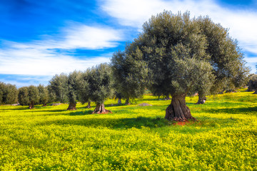 Plantation with many old olive trees and yellow blossoming meadow Wall mural