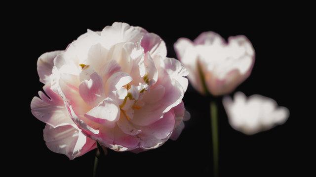 Victoria's Secret Pink Tulips on black background