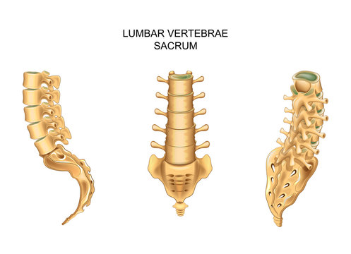 sacrum and lumbar vertebrae in different positions