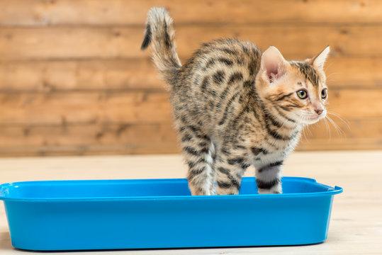 portrait of a striped smart kitten on the toilet tray