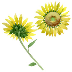 Sunflower floral botanical flowers. Watercolor background illustration set. Isolated sunflower illustration element.