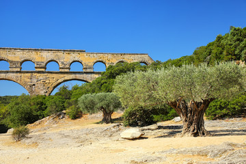 Old olive trees growing near Pont du Gard, southern France