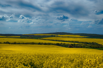 Rapeseed field, Blooming canola flowers close up. Rape on the field in summer. Bright Yellow...