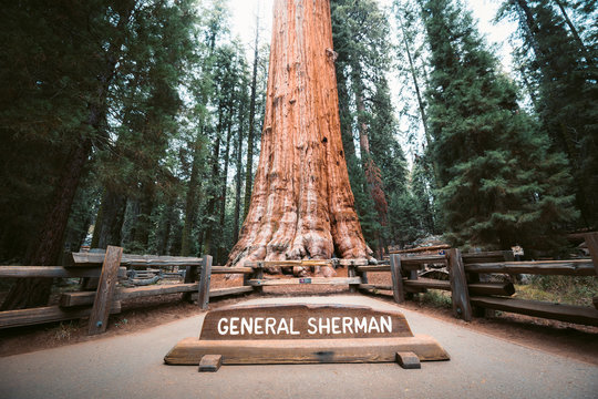 General Sherman Tree, the world's largest tree by volume, Sequoia National Park, California, USA