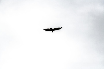 Hawk in flight photographed close-up against a cloudy sky