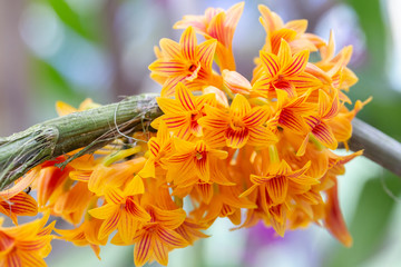 Obraz Orchid flower in orchid garden at winter or spring day for beauty and agriculture concept design. Dendrobium bullenianum Orchidaceae. - fototapety do salonu