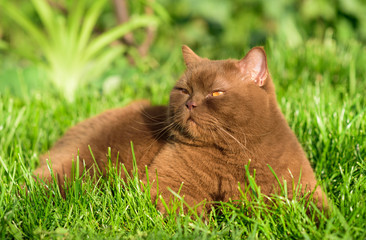 Portrait of brown british cat on a green grass on a sunny day. cute facial expression. cats emotions.