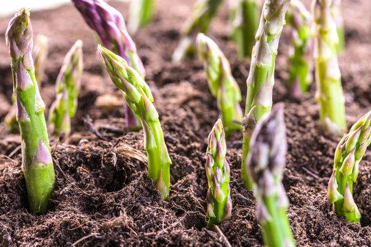 Grüner spargel wächst aus der Erde