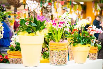 beautiful Phalaenopsis orchid flowers