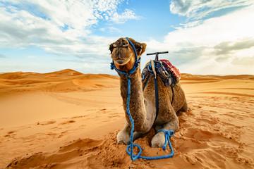 Ingelijste posters Kameel Dromedary camel in Sahara desert, Merzouga, Morocco