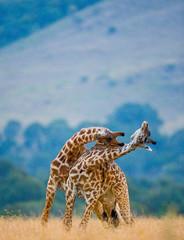 Fototapete - Two male giraffes fighting each other in the savannah. Kenya. Tanzania. East Africa.