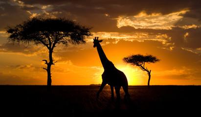 Giraffe at sunset in the savannah. Kenya. Tanzania. East Africa.