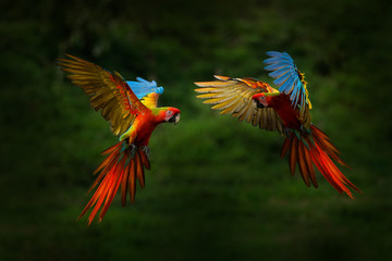 Red hybrid parrot in forest. Macaw parrot flying in dark green vegetation. Rare form Ara macao x...
