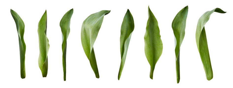 A collection of tulip leaves isolated on a white background.