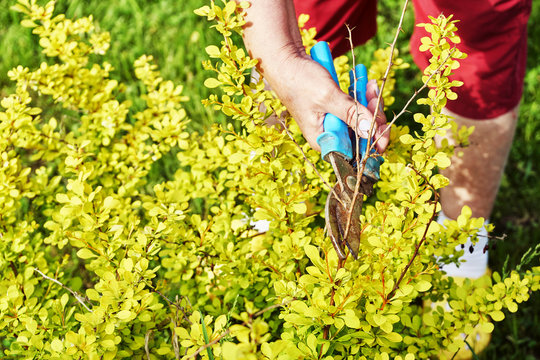 Female hands pruning branches of a berberis shrub with garden clippers
