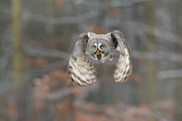 Fototapete - Bird in flight. Great Grey Owl, Strix nebulosa, flying in the forest, blurred autumn trees with first snow in background. Wildlife animal scene from nature. Owl from Sweden autumn forest.