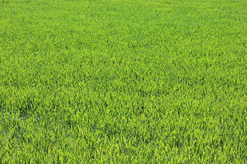 Papiers peints Herbe Natural green background with juicy spring green grass