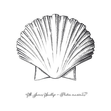 St James Scallop vintage engraving style vector illustration