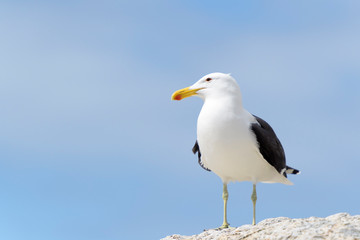Kelp gull (Larus dominicanus), portrait standing on rock, Boulder beach, South Africa