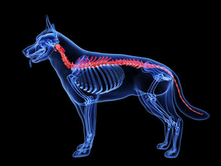 3d rendered medically accurate illustration of a dog spine