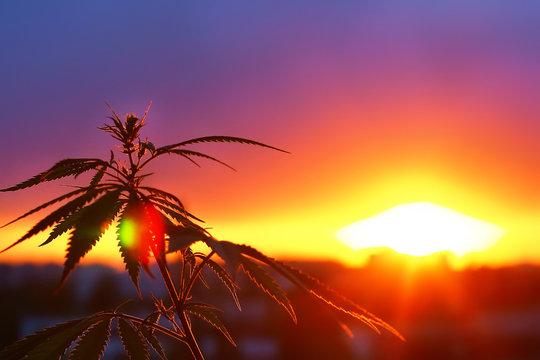 Healthcare Wellness Innovation Concept CBD. Concept of using cannabis in the sport, medical marijuana, hemp oil. Marijuana growing for use as alternative herbal medicine