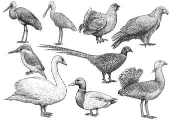 Bird collection illustration, drawing, engraving, ink, line art, vector