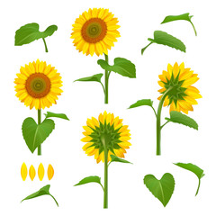 Sunflowers illustrations. Garden botanical yellow beauty sunflowers with seeds vector floral background pictures. Illustration of blossom sunflower, summer flora plant