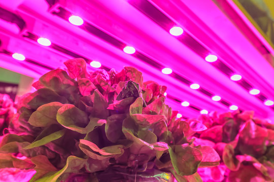 LED lighting used to grow lettuce inside a warehouse