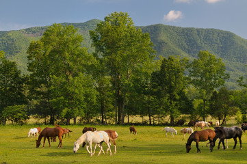Horses in Smoky Mountains Cades Cove in Late Spring